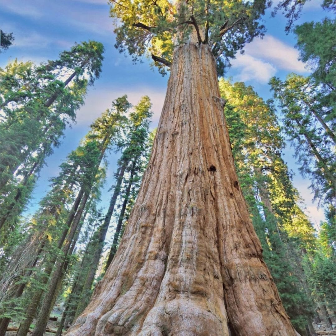 General Sherman Tree, the worlds biggest tree