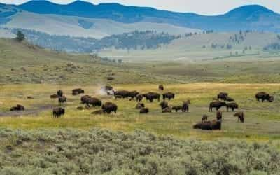 Wildlife Viewing in Lamar Valley, Yellowstone