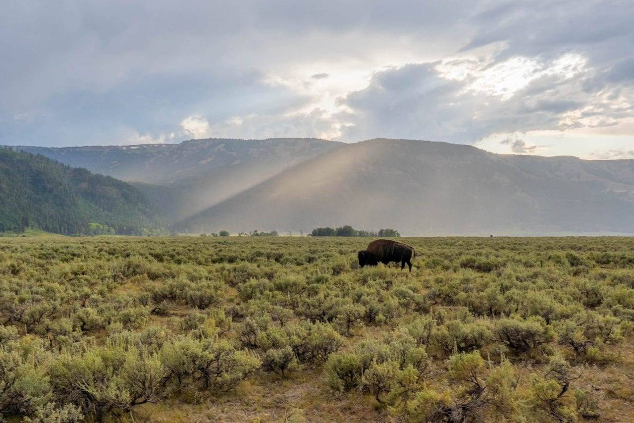 Bison sighting is very common in Lamar Valley