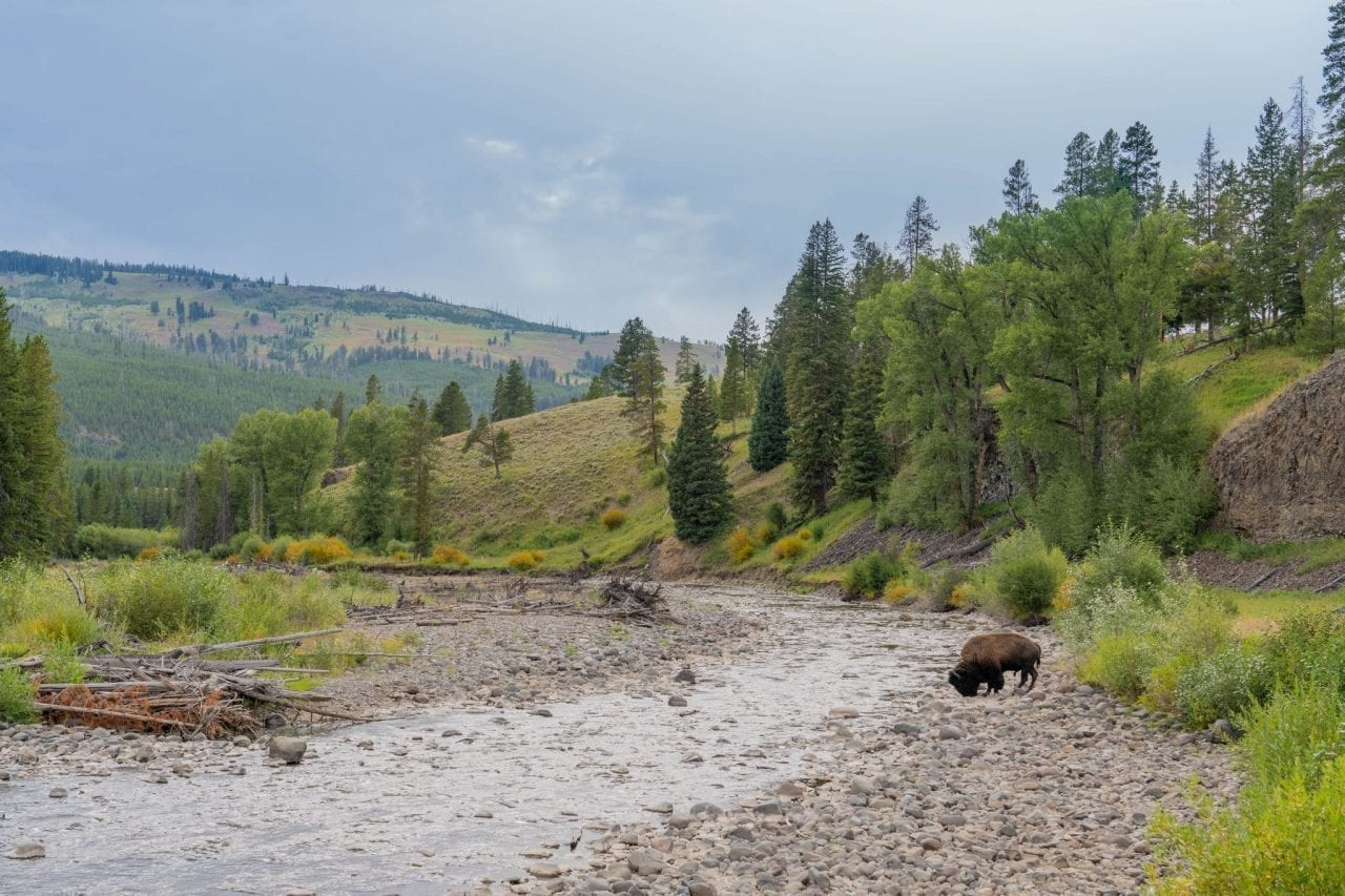 Bison spotted by the river in Lamar Valley