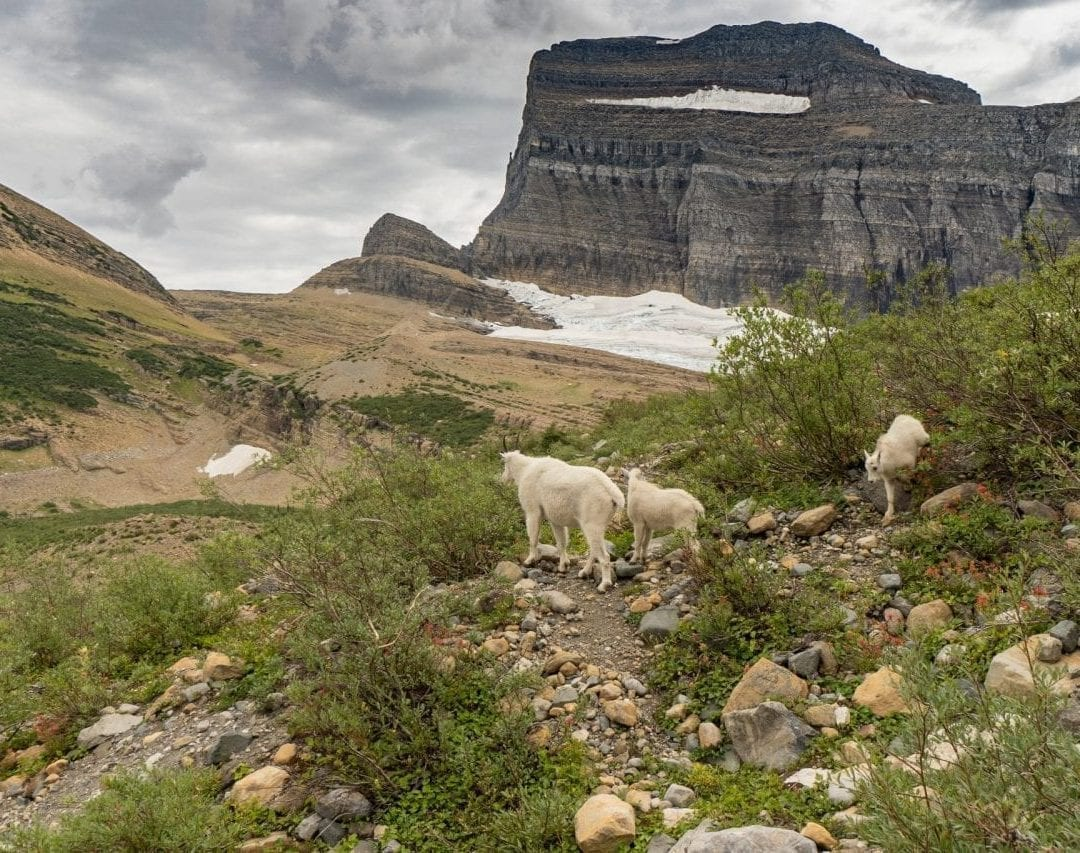 Mountain goats on the grinnel glacier hike