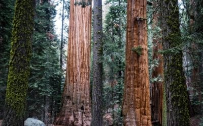 General Sherman, the Biggest tree in the world – King's Canyon & Sequoia National Park